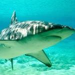 Thumb shark